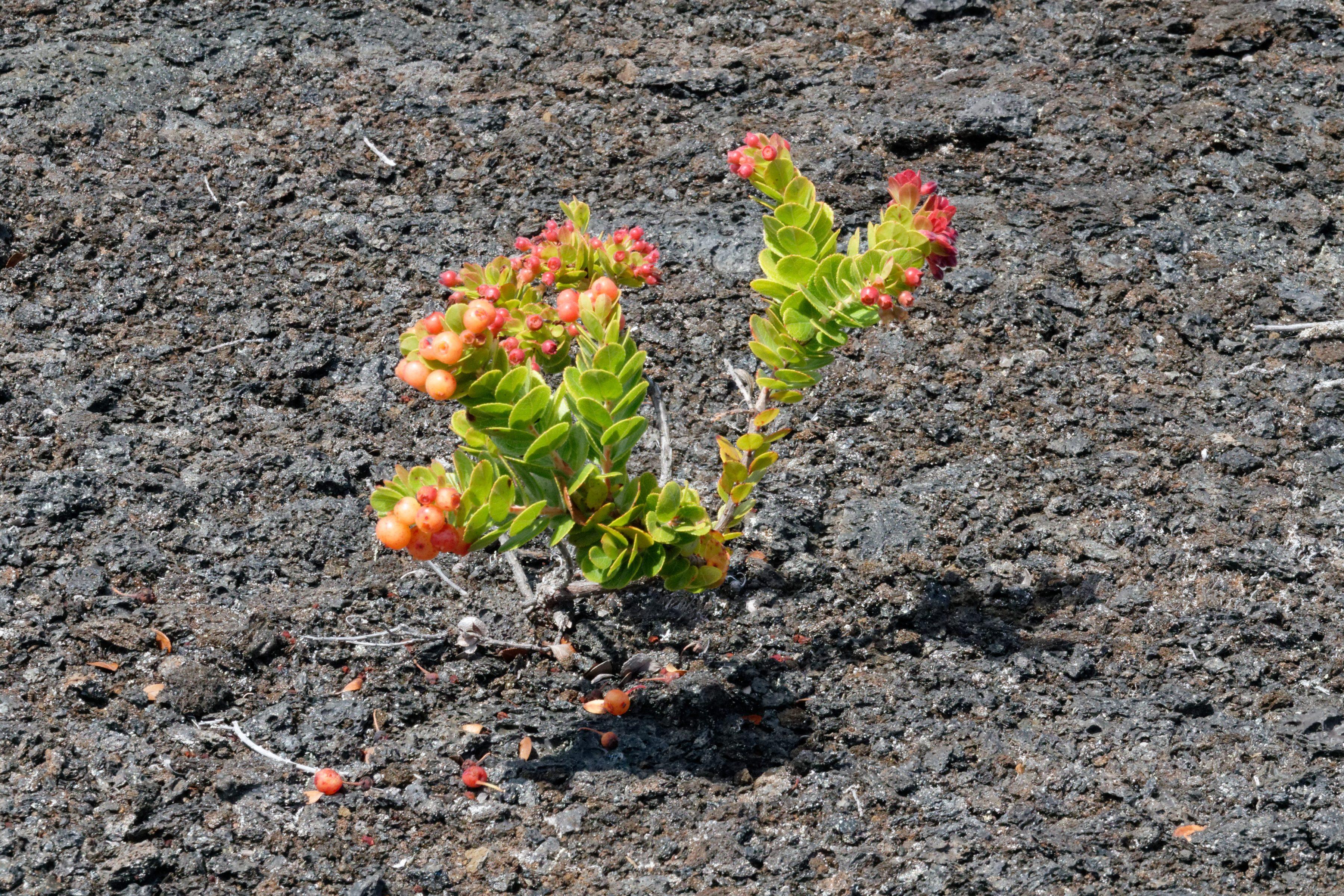 Les petites pousses de ʻōhiʻa au sen des coulées de lave solidifiées
