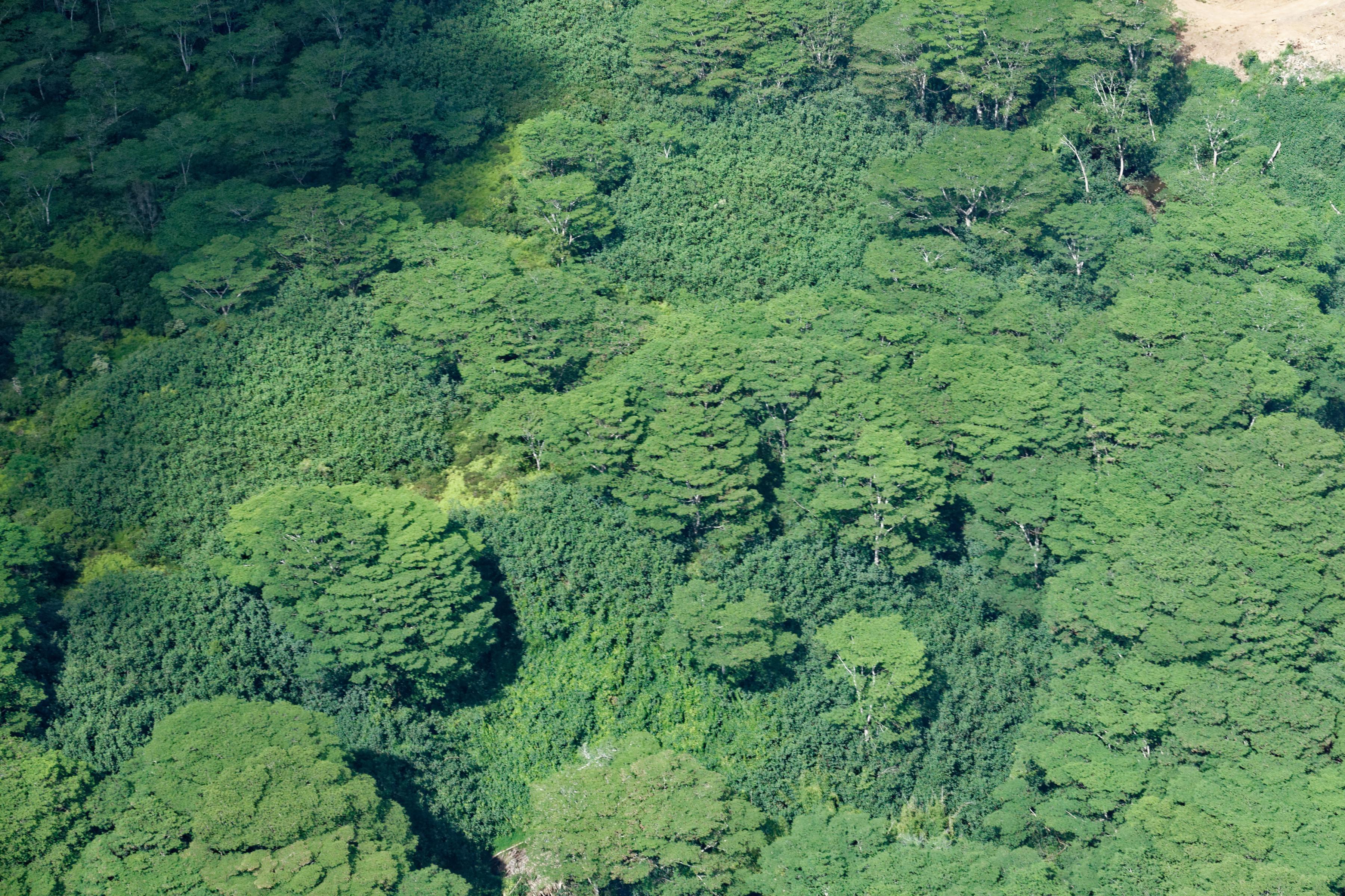 Une forêt d'albizias à Kauai