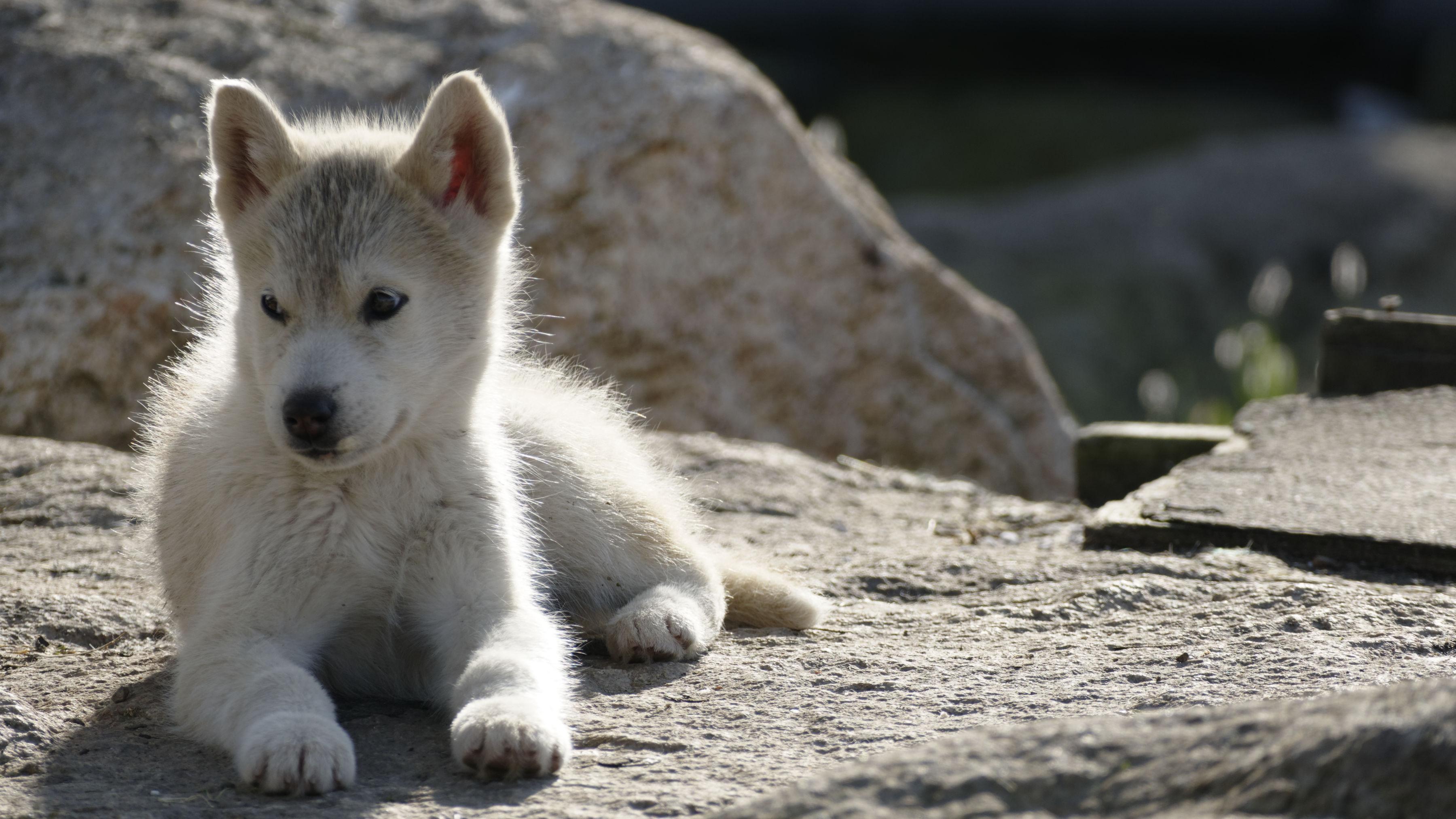 Un chiot groenlandais couché sur la roche