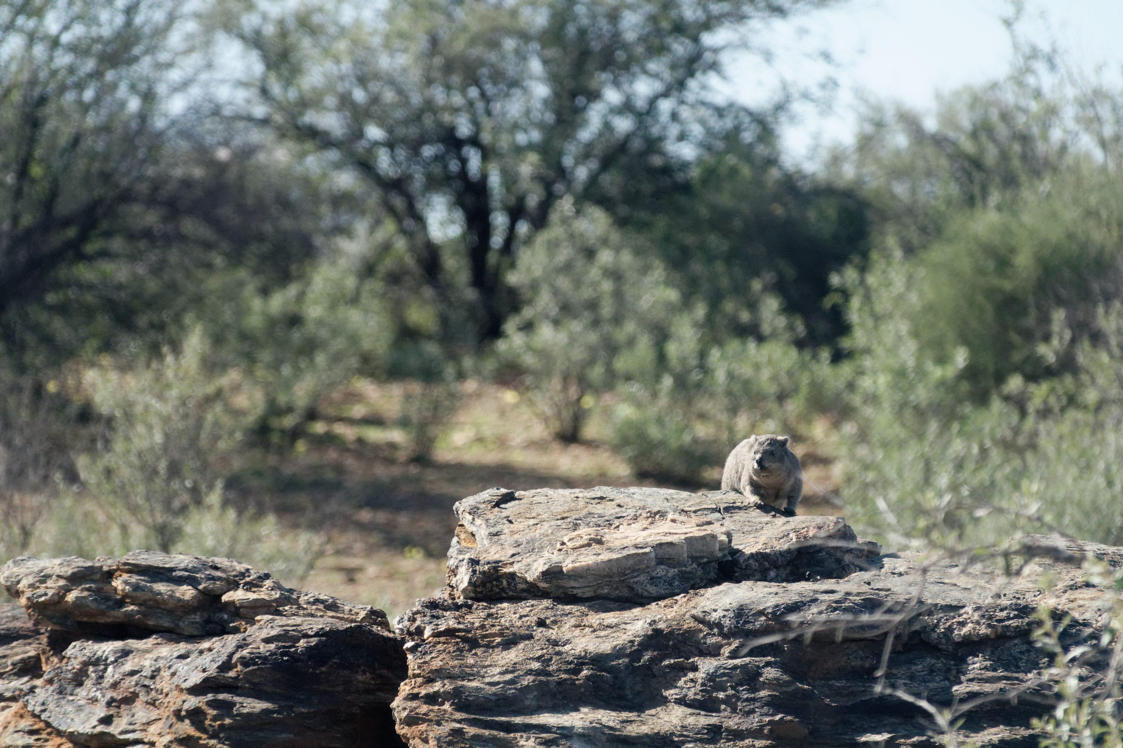 Un daman du Cap sur son rocher
